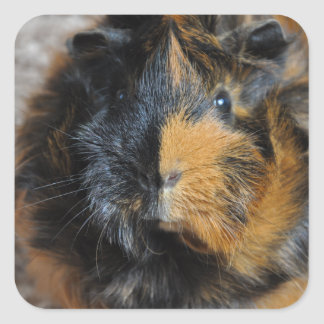 Sweet, Brindle, Rosette Guinea Pig Face Closeup Square Sticker