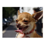Sweet Charlie Chihuahua Post Cards
