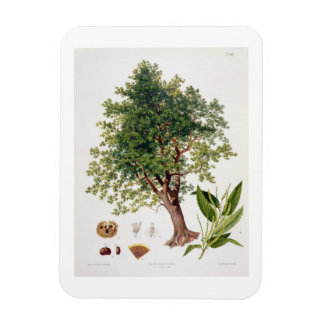 Sweet Chestnut, engraved by A. Haase (colour litho Rectangular Photo Magnet