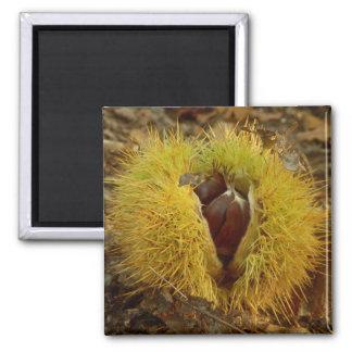 Sweet Chestnut Magnet