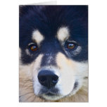 Sweet Finnish Lapphund Greeting Card