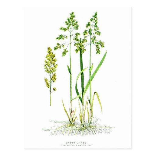 Sweet Grass Botanical Post Card