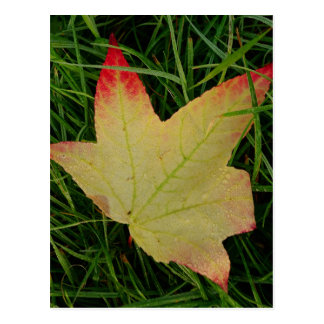 Sweet Gum Leaf Postcard