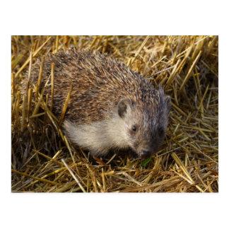 Sweet Hedgehog In Stubble Field Postcard