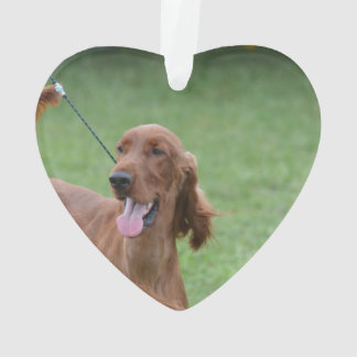 Sweet Irish Setter Dog