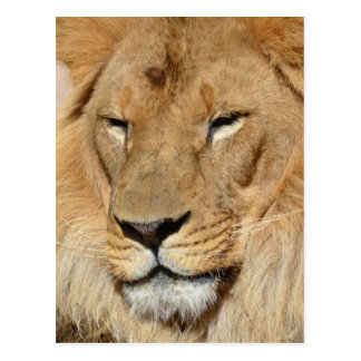 Sweet Lion Postcard