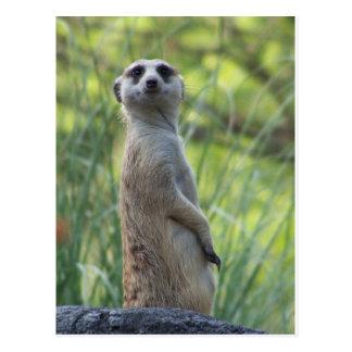 Sweet Meerkat Postcard