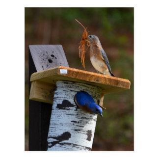 Sweet nesting bluebirds postcard