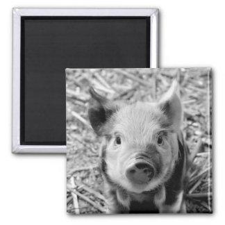 sweet piglet, black white square magnet
