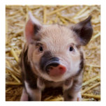 sweet piglet poster