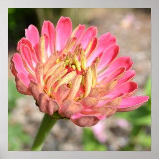 Sweet Pink Zinnia Flower Poster