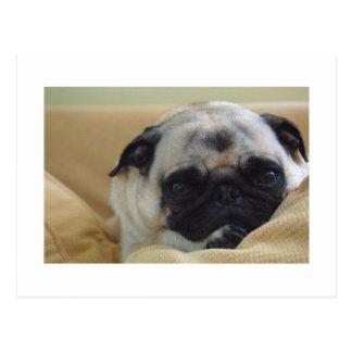 Sweet Pug Postcard