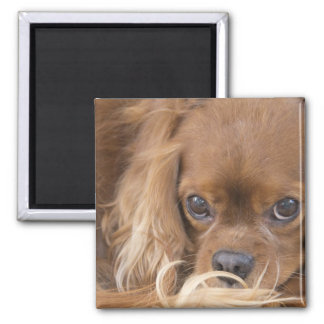 Sweet Ruby Cavalier King Charles Spaniel Square Magnet