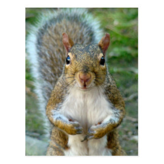 Sweet Squirrel Face Postcard
