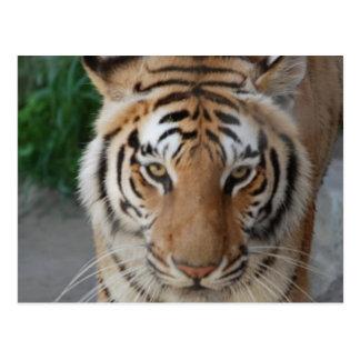 Sweet Tiger Postcard