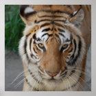 Sweet Tiger Poster