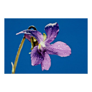 Sweet violet viola odorata flowers poster