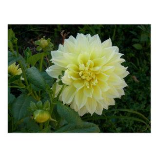 Sweet Yellow Dahlia Postcard
