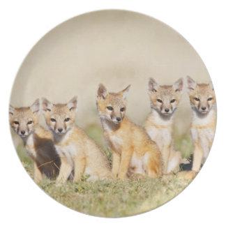 Swift Fox (Vulpes macrotis) young at den burrow, 2 Plate