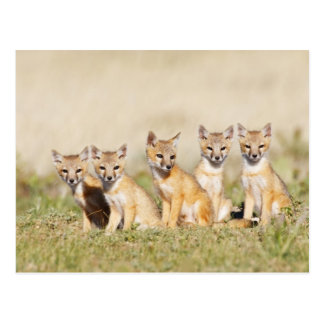 Swift Fox (Vulpes macrotis) young at den burrow, 2 Postcard