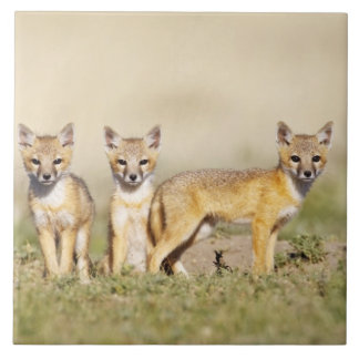 Swift Fox (Vulpes macrotis) young at den burrow, 3 Large Square Tile