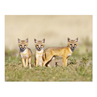 Swift Fox (Vulpes macrotis) young at den burrow, 3 Postcard