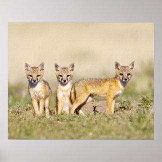 Swift Fox (Vulpes macrotis) young at den burrow, 3 Poster