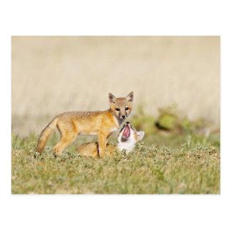 Swift Fox (Vulpes macrotis) young at den burrow, 4 Postcard