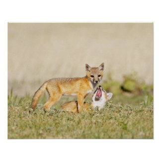 Swift Fox (Vulpes macrotis) young at den burrow, 4 Poster