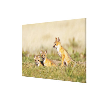 Swift Fox (Vulpes macrotis) young at den burrow, 5 Canvas Prints