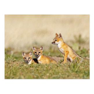 Swift Fox (Vulpes macrotis) young at den burrow, 5 Postcard
