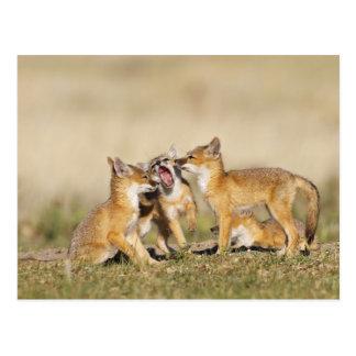 Swift Fox (Vulpes macrotis) young at den burrow, Post Card