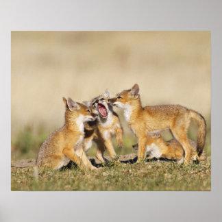 Swift Fox (Vulpes macrotis) young at den burrow, Poster