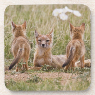 Swift Fox (Vulpes velox) female with young at Coaster