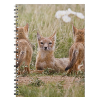 Swift Fox (Vulpes velox) female with young at Notebook