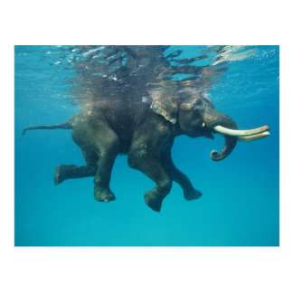 Swimming Elephant Postcard