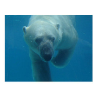Swimming Polar Bear  Postcard
