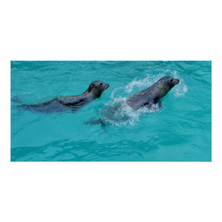 Swimming Seals Couple, glossy poster