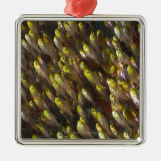 Swirl of Golden sweepers (Parapriacanthus Christmas Ornament