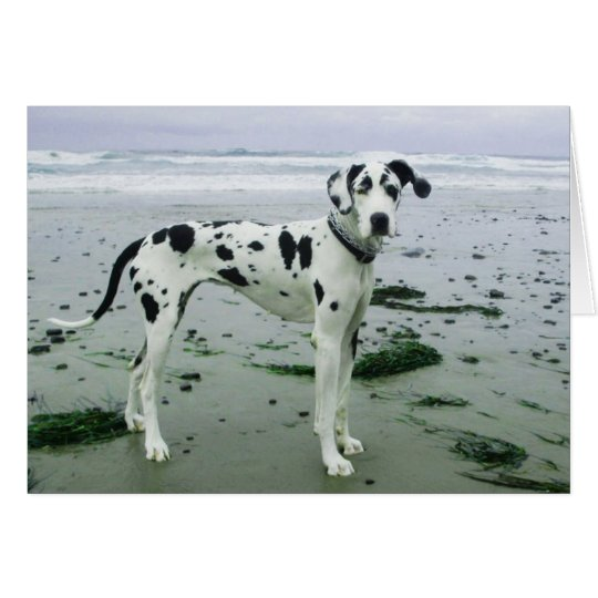 Sydney at the Beach Harlequin Great Dane Card