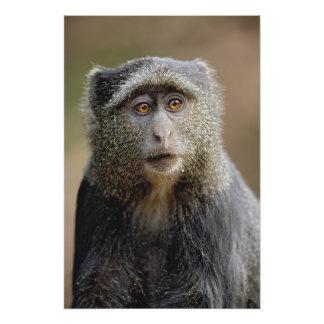 Sykes or Blue Monkey, Cercopithecus mitis, Photo Print