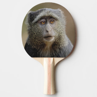 Sykes or Blue Monkey, Cercopithecus mitis, Ping Pong Paddle