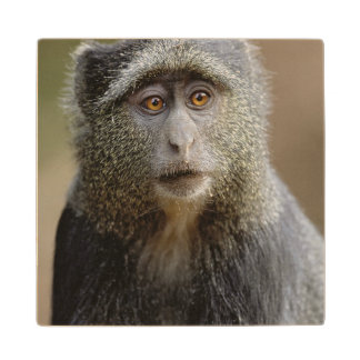 Sykes or Blue Monkey, Cercopithecus mitis, Wood Coaster