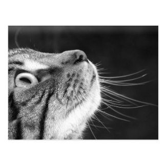 Tabby Cat in Black and White Postcard