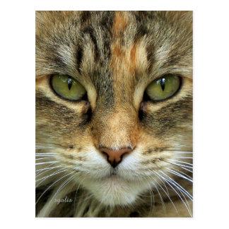 Tabby Cat Portrait Postcard