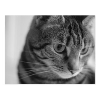 Tabby in Black and White Postcard