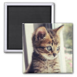 Tabby Kitten Watching Out Window Square Magnet
