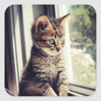 Tabby Kitten Watching Out Window Square Sticker