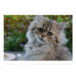 tabby persian kitten postcard