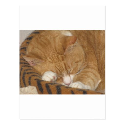 Taco the Siesta Cat Post Cards